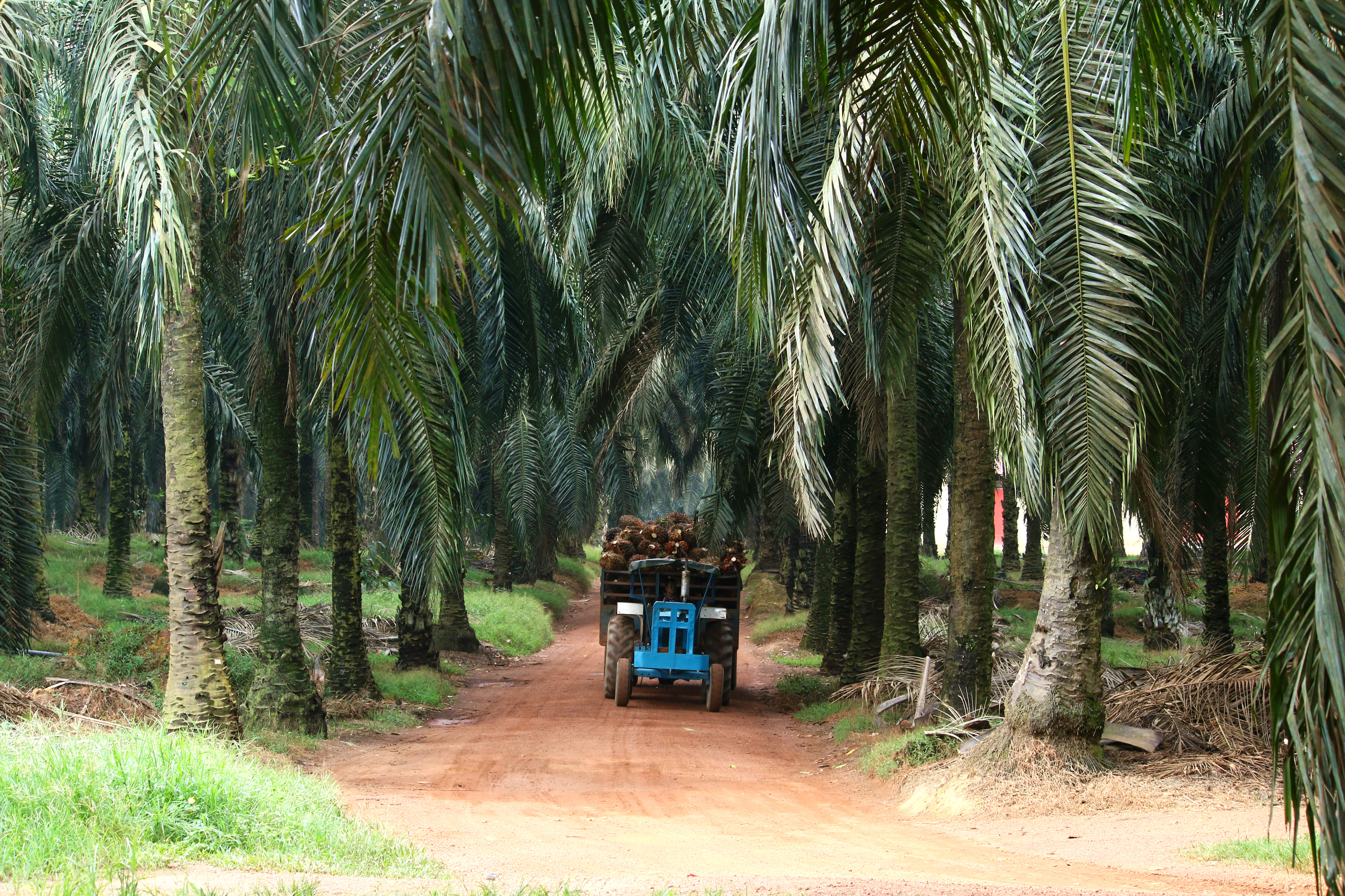 Tractor transporting oil palm fruits in oil palm plantation